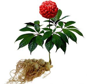 Tổng quan tam thất. - Indochina Herb